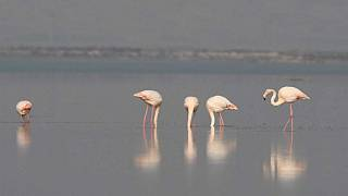 Flamingoların dansı