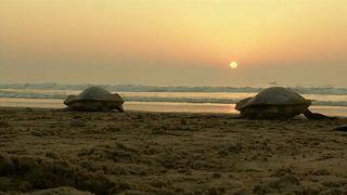 Veszélyeztetett teknősök tojásokat raknak