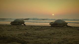 Hindistan'da kaplumbağaların yumurtlama ritüeli