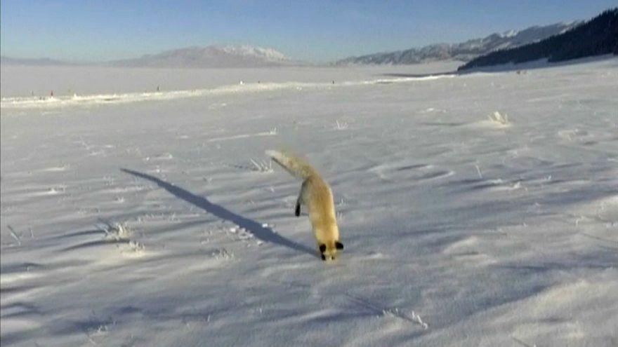ثعلب فضولي في السهول الثلجية بالصين