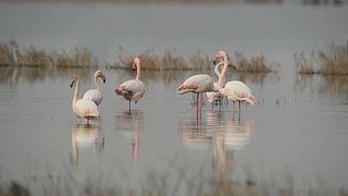 Flamingók tánca