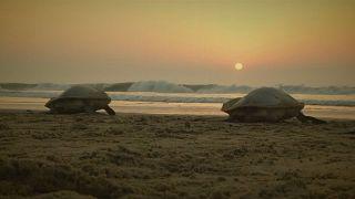 Tartarugas marinhas ameaçadas colocam ovos em praia indiana