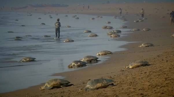 Ponte de tortues marines en Inde
