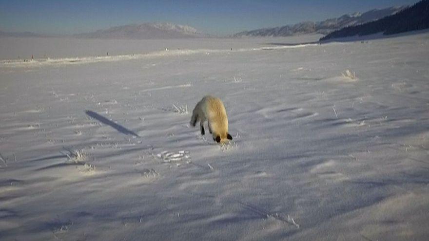 "Raposa ""interrompe"" equipa de filmagens para brincar na neve"