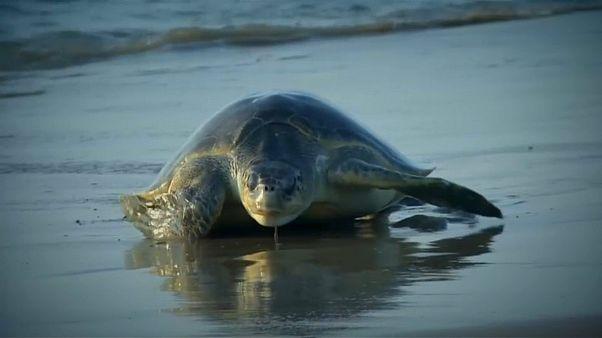 Turtles lay eggs on Indian beach