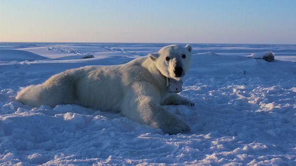 """فيما ترتعد أوروبا  بردا.. القطب الشمالي """"يتصبب عرقا"""" ويهدد حياة الدببة!"""