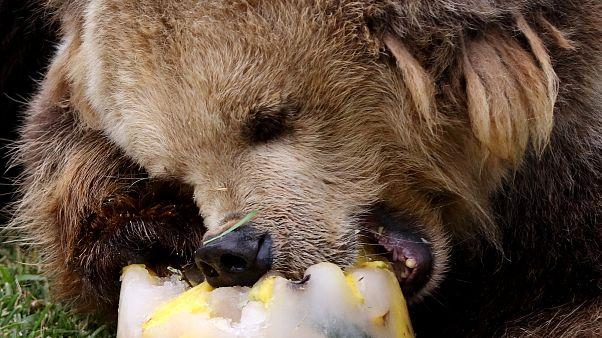 Vor ihrer Winterruhe fressen sich Braunbären eine Fettschicht an