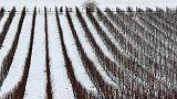 Gelo in Italia, agricoltura in ginocchio