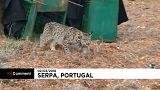 Las autoridades portuguesas liberan dos linces ibéricos