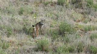 Lynx release in Portugal
