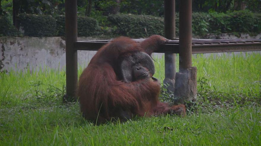 Rauchender Orang-Utan empört Augenzeugen