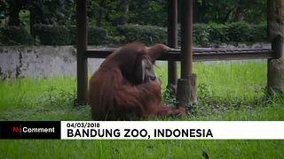 Vicces a dohányzó orangután, még sincs kedvünk nevetni