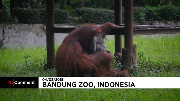 Indonésie : un orang-outan se fait une pause cigarette