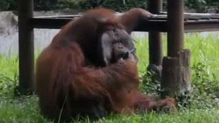 Indonesian zoo 'regrets' video of smoking orangutan