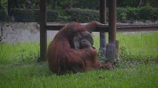 إنسان الغابة في حديقة حيوانات بإندونيسيا