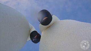 Watch: Wild emperor penguins take selfies with explorer's camera