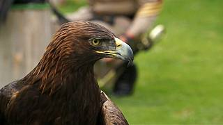 México cuida del águila real en un centro de protección