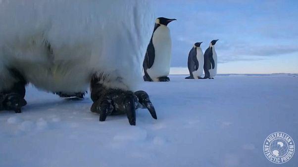 شاهد: كيف نجح زوج من طيور البطريق في التقاط صورة سيلفي