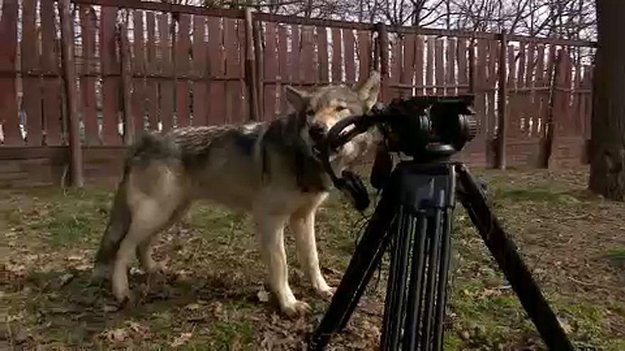 Világsztárok keresik a gödöllői farkasok társaságát
