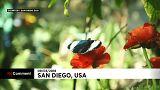 آلاف الفراشات ذات الألوان المتعددة تبهر زوار حديقة سان دييغو بكاليفورنيا