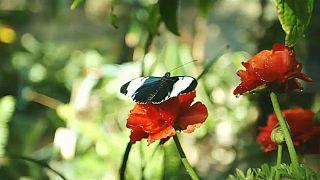 Uma selva de borboletas