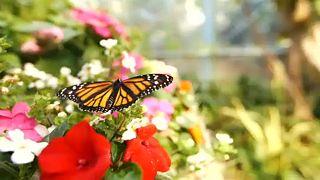Pillangódzsungel nyílt Kaliforniában