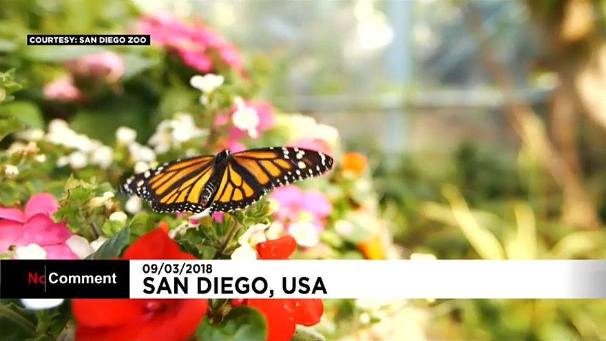 San Diego Fluttering butterflies