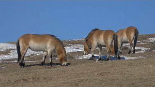 Soyu tükendi denilen atlar Moğolistan bozkırlarına geri döndü