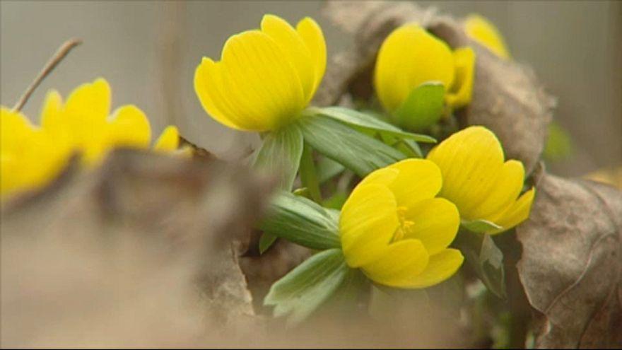 Virágzik a téltemető Lengyelországban