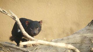 Tasmanya canavarı