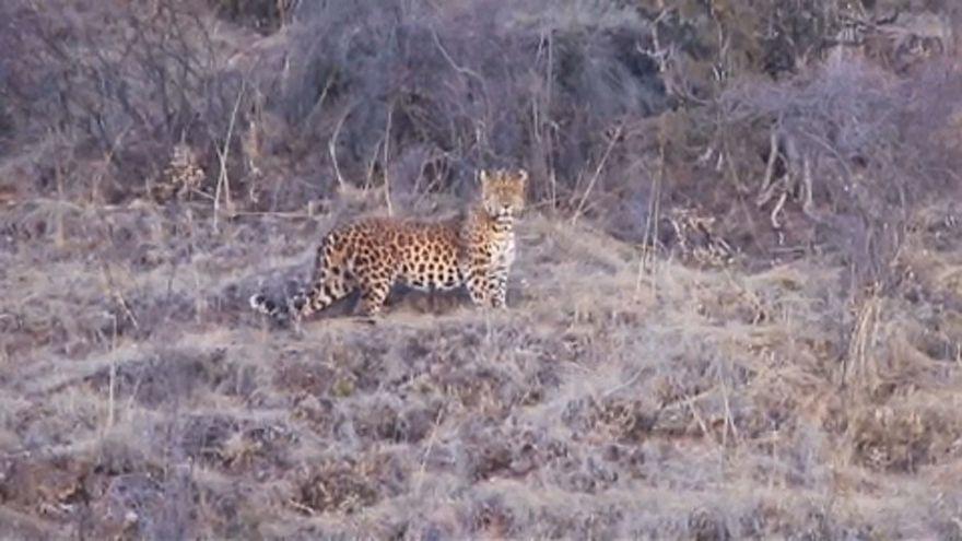 Leopárd a vadon