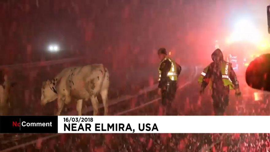 Des vaches s'échappent après un accident