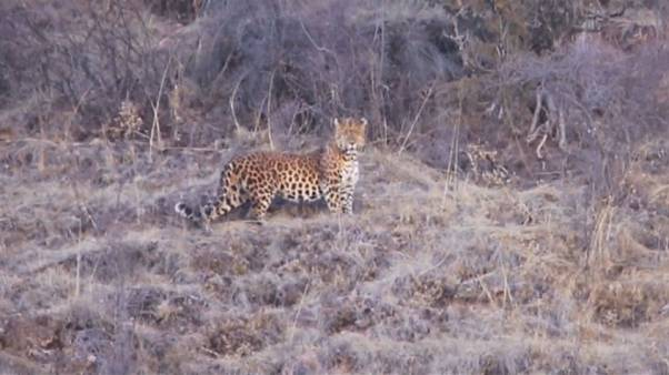 Seltener Leopard im Nordwesten Chinas gesichtet