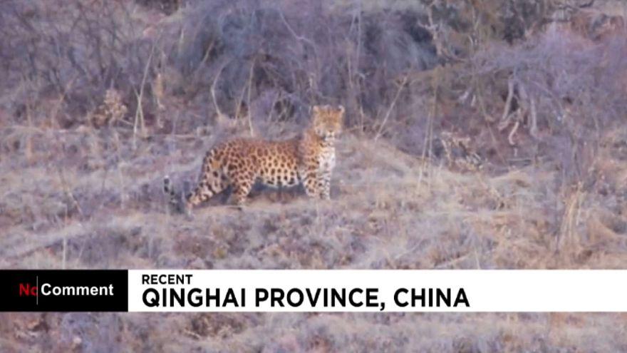 Vidéo rare d'un léopard sauvage