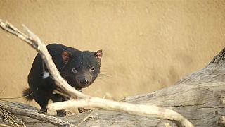 Im San Diego Zoo ist der Teufel los