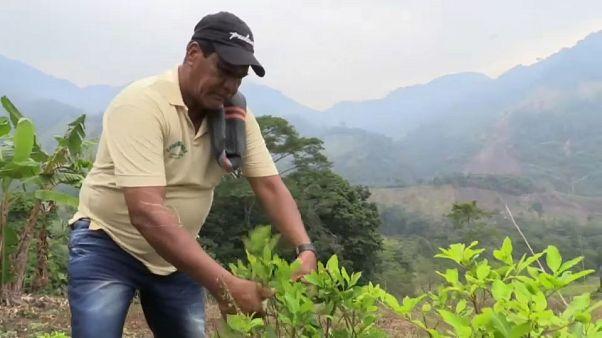 De la coca al cacao, una transición no exenta de riesgos