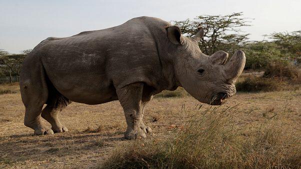 Letzter weisser Nashornbulle in Kenia