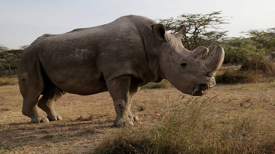 Πέθανε ο τελευταίος αρσενικός λευκός ρινόκερος του Βορρά