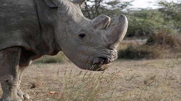 Morre o último rinoceronte-branco do norte macho do Mundo
