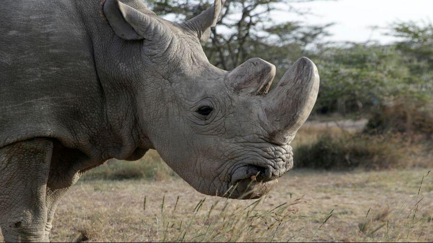 Elpusztult Sudan, az egyik orrszarvú-alfaj utolsó hímje