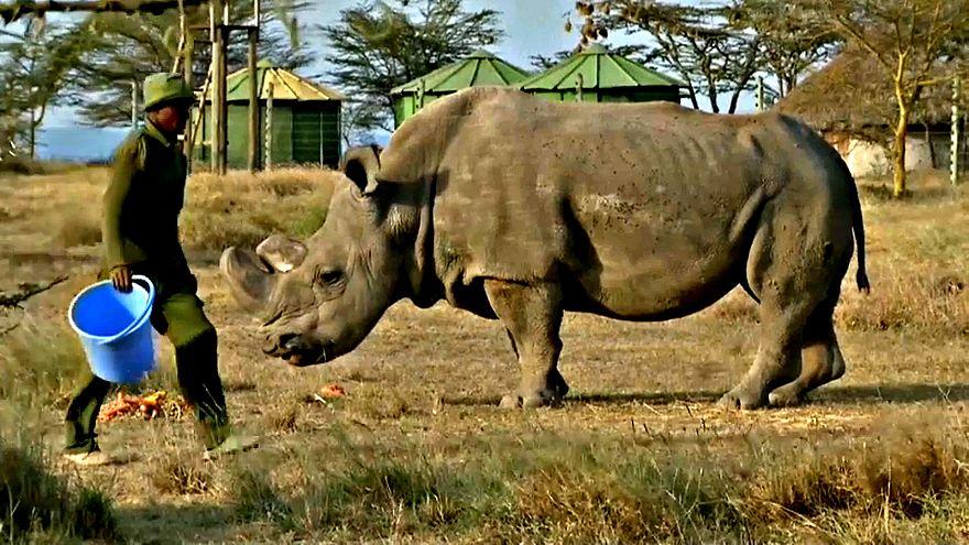 Morto in Kenya l'ultimo esemplare di rinoceronte bianco maschio
