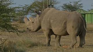 Adiós al último rinoceronte blanco
