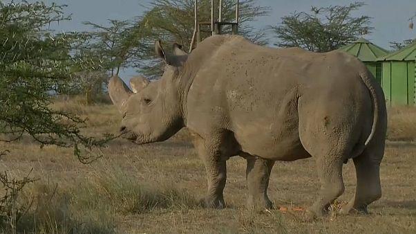 شاهد: نفوق آخر ذكور وحيد القرن الأبيض بكينيا
