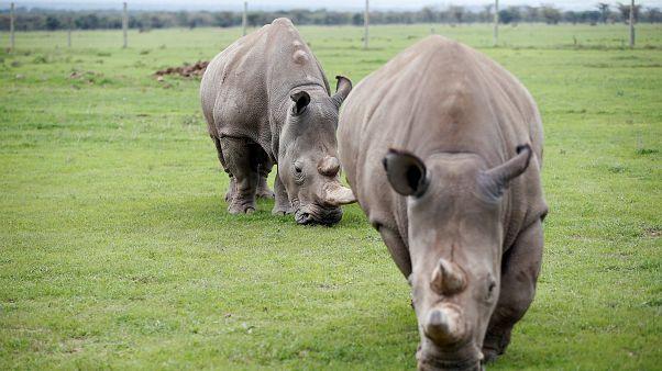 Προσπάθειες αναπαραγωγής του λευκού ρινόκερου για να μην εξαφανιστεί