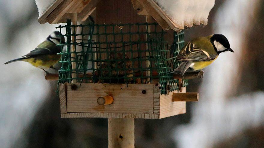 France : les oiseaux champêtres décimés