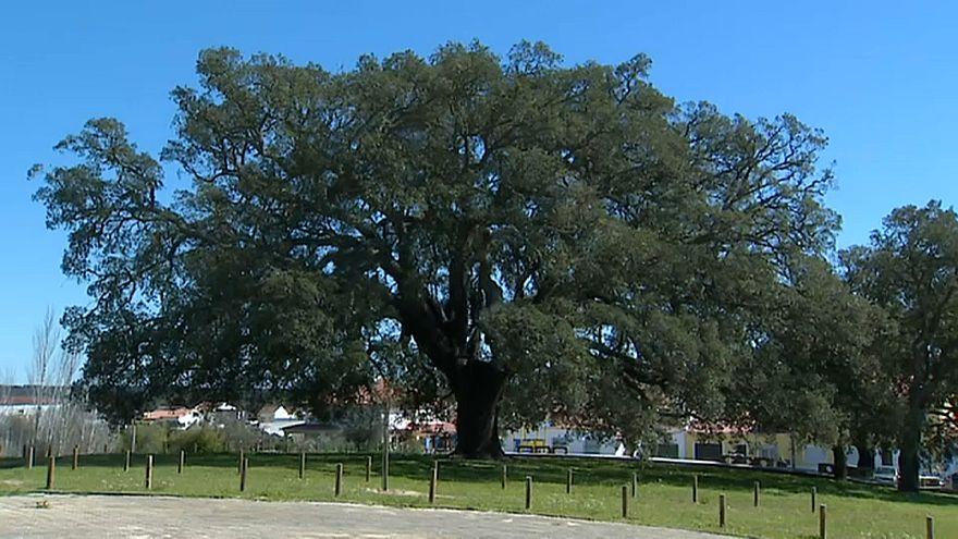 Sobreiro português é Árvore Europeia do Ano 2018