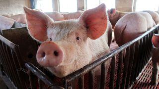 الخنازير تدفع الدنمارك لبناء سياج على حدودها مع ألمانيا