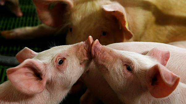 Denmark to protect its pigs by building fence on border with Germany
