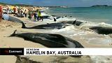 Avustralya'da 150 kısa yüzgeçli pilot balina karaya vurdu