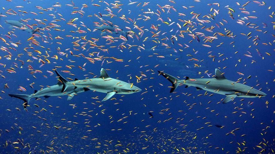 Graue Riffhaie in einem Schwarm bunter Anthias nahe der Jarvisinsel